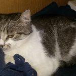 Patatina, Katze, geb. 2015/2016, kastriert, geimpft und gechipt