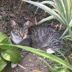 Draga, Katze, geb. 2015, kastriert, geimpft und gechipt