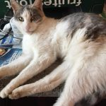 Ashy, Katze, geb. ca. 2015/2016, kastriert geimpft und gechipt, Langhaarmix