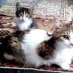 Meduza, Katze, geb. ca. 03/2016, kastriert, geimpft und gechipt