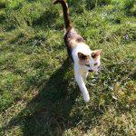 Laura, Katze, geb. ca. 2015/2016, kastriert, geimpft und gechipt