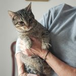 Tigi, Katze, geb. ca. 04/2018, geimpft und gechipt, Bengal-Mix
