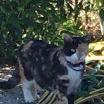 Siri, Katze, geb. ca. 03/04-2018, kastriert, geimpft und gechipt