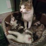 Katze Laura und Ihre Kitten geb. 2014 Mama