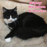 Gibsy, Katze, geb. ca. 07/2018, kastriert, geimpft und gechipt – Langhaarmix