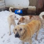 Drei Rüden aus Rumänien