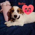 Welpe Bobby geb. ca.3/2020
