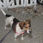 Beagle Mix Lola lebt in Rumänien
