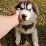 Siberian Husky Bubi möchte Rumänien schnell verlassen
